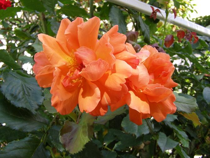 Jesienne róże  Westerland