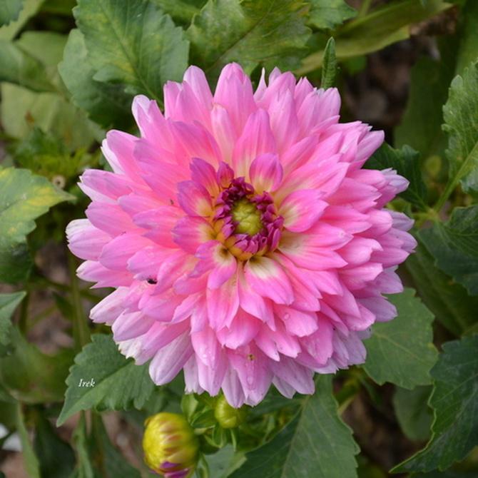 kwiat jak broszka