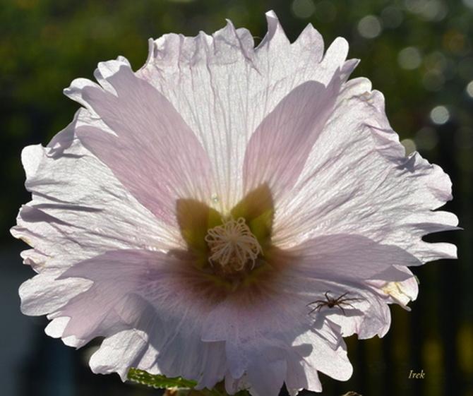 lampa kwiatowa