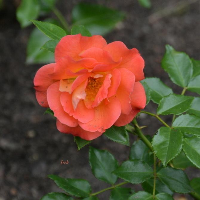 młoda róża czerwona