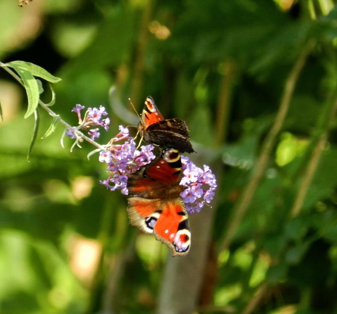Motyle na budlei