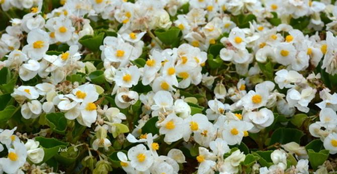 begonia biała