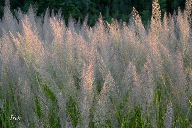 Ozdobne trawy koło stawu w Żyrardowie