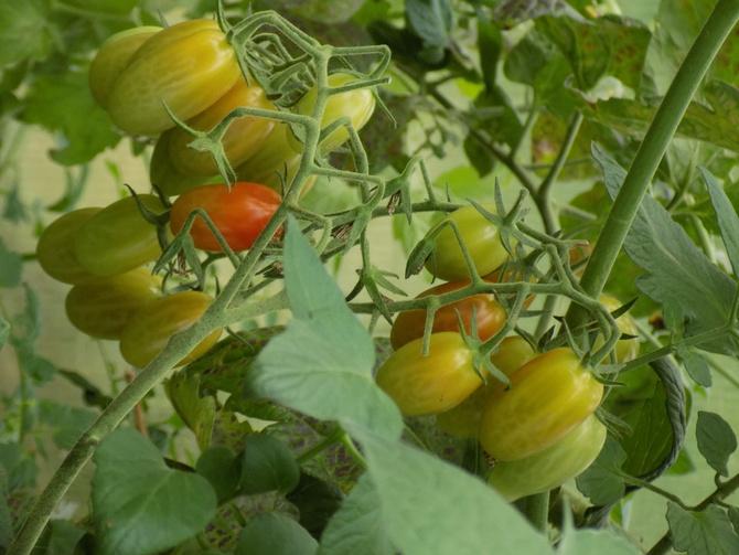 Pomidorki :)