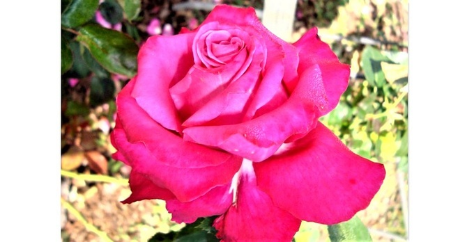Róża Big Purple Stabicpu w zbliżeniu .