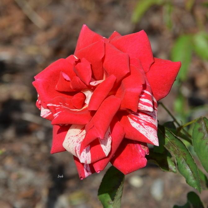 róża czerwono-biała