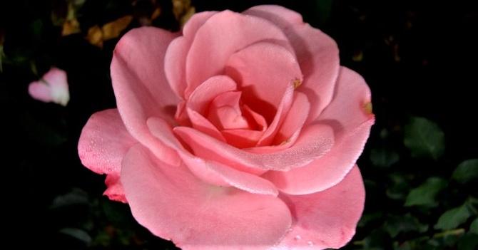 Róża Dolly Poulvision w zbliżeniu .