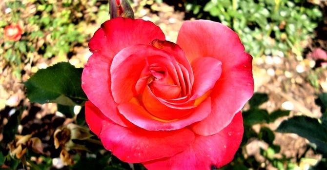 Róża Donatella Granada w zbliżeniu .