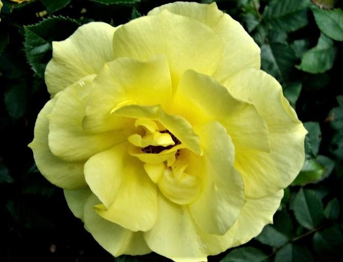 Róża Korresia w zbliżeniu.