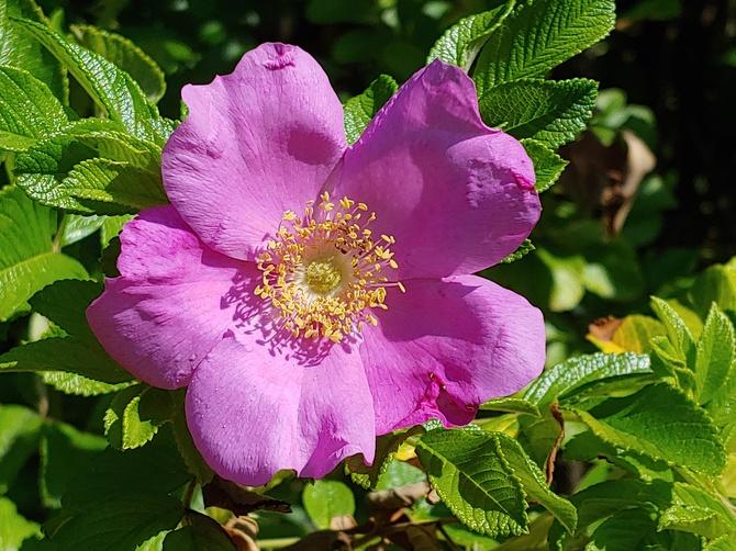 Róża na miły wieczór