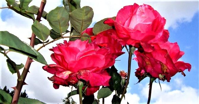 Róża Tornado Korfor w zbliżeniu .