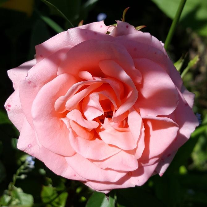 Różowa różyczka......