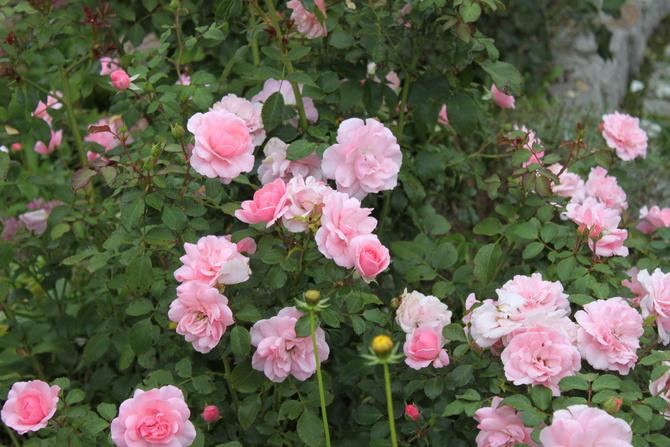 Różyczki też w pełni kwitnienia