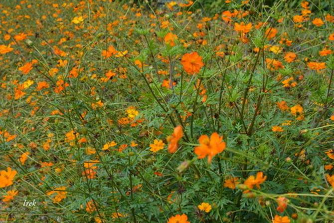 warszawianki w ogrodzie botanicznym