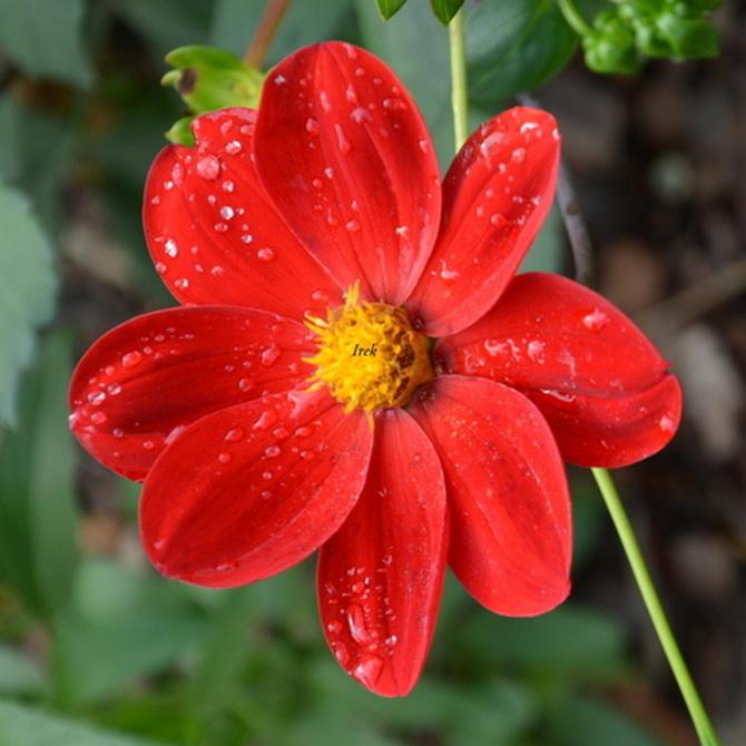 zapłakany kwiat czerwony