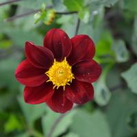 bardzo ciemny kwiat
