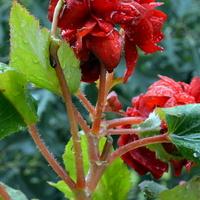 begonia zdruzgotana przez deszcze i wichury