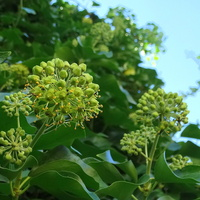 Bluszczowe kwiatki :)