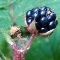 Ciemny owoc jeżyny