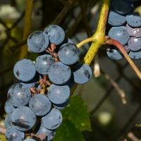Dojrzałe winogrona, proszę się częstować