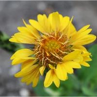 Gailardia z jednym kwiatkiem...