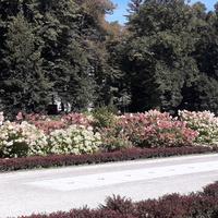 Hortensje w parku zdrojowym w Polanicy
