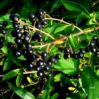 jesienne czarne perły
