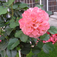 Jesienne róże   Albrecht Durer