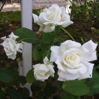 Jesienne róże   Jan Paweł II