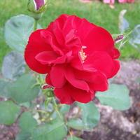 Jesienne róże   Lilli marlen