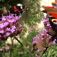Jeszcze odwiedzą nas motylki :)