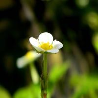 Kwiatuszek poziomki:)