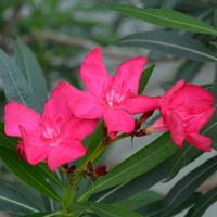 kwiaty kwitnącego drzewka w donicy