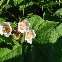 Kwitnie jeżyna pachnąca
