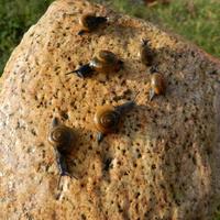 Ślimaki na kamieniu
