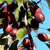 Maleńkie, rajskie jabłuszka:)