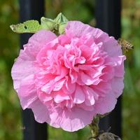 malwa różowa, pełna