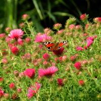 Motyl rusałka pawik