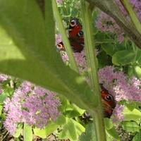 Motylków wiele...