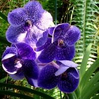 orchidea ciemnoniebieska