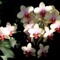 orchidea, storczyk