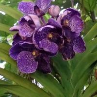 orchidea vanda hybryda