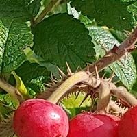 Owoce róży :)