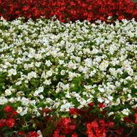 patriotyczne kwiatki