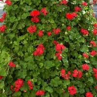 Pelargonia  czerwona