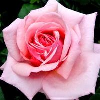 Róża Aloha w zbliżeniu .