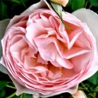 Róża Ausblush w zbliżeniu .