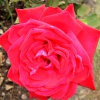 Róża Burgund 81 w zbliżeniu .