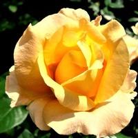 Róża Cassanowa w zbliżeniu.