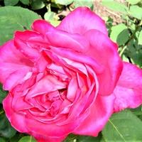 Róża Meibil w zbliżeniu .